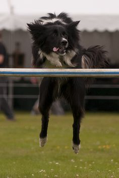 Dog Agility at Hopetoun House Horse Trails 2011