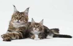 Mother and kitten Maine Coons #cats #kittens