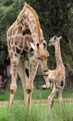"Mother giraffe teaches baby the HOKEY POKEY. ""You put your left hoof in..."" RePinned By: *Doniele Disney* www.poppiespaintpowder.com"