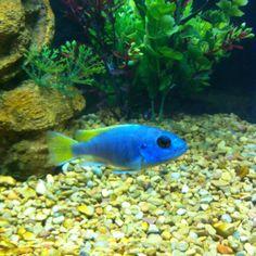 African Cichlid Aquarium Fish Food, Goldfish Aquarium, Discus Aquarium, Aquarium Pump, Tropical Fish Aquarium, Fish Aquariums, Live Aquarium Plants, Planted Aquarium, Cichlid Fish