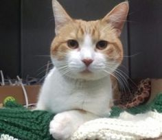 01/16/2017 SUPER URGENT ADOPT CASTLE, 3 years old, TO BE DESTROYED Brooklyn NYC friendly, allowed all handling, healthy lost/abandoned pet, intact MALE, WHITE / ORG TABBY, DOMESTIC SH MIX, IDA1101229, Intake Date 01/08/2017, past Due Out Date 01/11/2017.