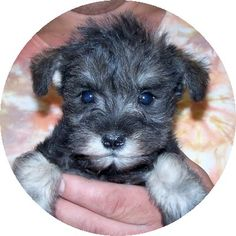 Schnoodle pups - cross between a schnauzer and a poodle