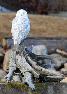 Snowy Owl #biddeford #maine