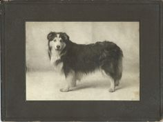 Late 1890s photo of collie by Burkholder Studio, Mansfield, Ohio. From bendale collection