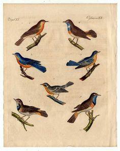 Rotkehlchen-Blaukehlchen-Vögel-Vogel-Birds - Kupferstich-Bertuch 1800