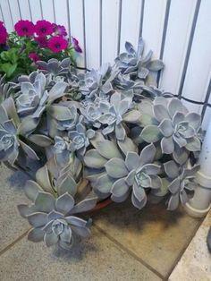 Ghost plant, Graptopetalum paraguayense