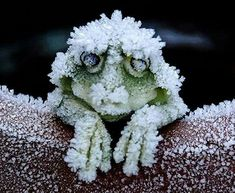 Little frog becomes like a block of ice in winter and unthaws and goes about his life in spring.