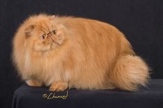 GC, GP, NW ANGELSPUR OHLALA Best Cat in Premiership  Persian - Solid ColorRed Spay