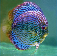Adult Blue Checkerboard Discus Fish - Green and Red Patterning