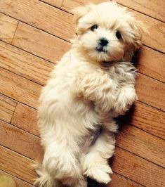 I'd love a dog like this cutie one day! #Havanese