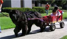 Newfoundland!  i saw a dog like this today, and let me tell you, he was nothing but a big cuddly teddybear!