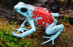 The Harlequin Dart Frog is poisonous frog found in the tropical rain forests of Ecuador and Columbia. They come in a multitude of color variations (bright to dull orange, yellow, red, white, and powder-blue) depending on where they come from.