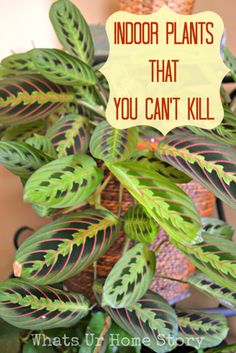 indoor plants that you can't kill, easy to grow indoor plants. This one is called prayer plant or Maranta. Best Indoor Plants, Outdoor Plants, Garden Plants, Outdoor Gardens, Easy House Plants, Easy Care Indoor Plants, Veg Garden, Garden Types, Flowering Plants