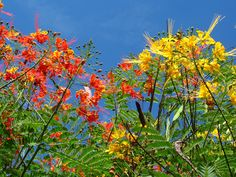The growing and care of Mexican bird of paradise plant isn't difficult; however, this plant is commonly confused with the other species in this genus. This article will explain the subtle differences between them.