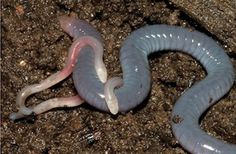 Mom Feeds Her Own Skin to Young : Discovery News  Caecilians, in turn, are animals that look like a cross between a worm and a snake, but are actually legless amphibians whose ancestors lived before dinosaurs first emerged.