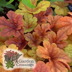 Today's plant is Heucherella 'Buttered Rum' this plant not only stood out for fabulous color during my summer trials but it is also amazing in my fall winter garden. Heucherella give a great variation in color from spring through fall. They are a semi evergreen perennial which means they will give your garden in all season. This is a stunning Heucherella to add to your part shade garden. #perennial #heuchera #newplants #gardencrossings