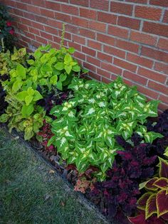 Post with 0 votes and 8753 views. Loving my border of coleus Amazing Gardens, Front Yard Landscaping Design, Lawn Design, Plants, Garden Help, Porch Flowers, Trees To Plant, Garden Planning, Small Yard Landscaping