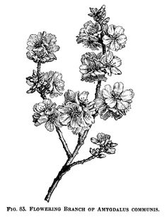 Here is a beautiful vintage illustration of a Flowering Branch of Amygdalus Communis – or flowering almond branch. I scanned the original image from the Illustrated Dictionary of Gardening – A Prac…