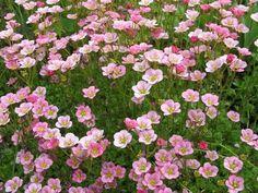 Patjarikko. Korkeus: 5-10 cm. Kukkii touko–kesäkuussa. Runsaslukuiset kukat nousevat hieman lehdistön yläpuolelle. Kasvupaikka aurinko, kuiva, vähäravinteinen, kalkittu, läpäisevä maa.