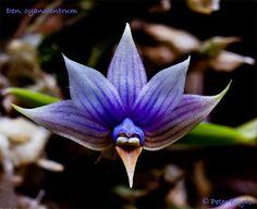 Orchid: Dendrobium cyanocentrum; by phantasmagora