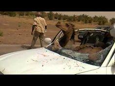 فيديو: حادث اصطدام بجمل في صحراء غات جنوب ليبيا ونجاة السائق بأعجوبة http://bit.ly/S7YBHU ..