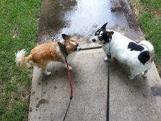 Harry and Jack don't want to go out in the rain! Some Pictures, Going Out, Corgi, Rain, Pets, Animals, Rain Fall, Corgis, Animales