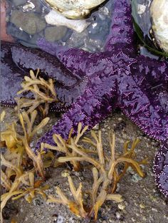Purple sea star, Salt Spring Island, BC. #devinecolor Coastal Christmas Stockings, Salt Spring Island Bc, Victoria Vancouver Island, Western Photography, Grape Color, Goth Art, Tide Pools, All Things Purple, Travel And Leisure