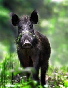 Simple WildschweinSchweineWaldTiereDie