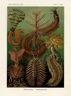 What an amazing artist Ernst Haeckel was! Art Forms of Nature – The Ernst Haeckel Collection ~ Kuriositas Art And Illustration, Nature Illustrations, Ernst Haeckel Art, Art Et Nature, Natural Form Art, Illustration Botanique, Photocollage, Botanical Art, Sea Creatures