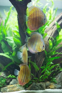 Planted Community Discus Tank | Flickr - Photo Sharing!