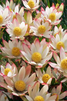 Australian Native Garden, Australian Native Flowers, Australian Plants, Exotic Flowers, Colorful Flowers, Beautiful Flowers, Protea Flower, No Rain, Early Spring