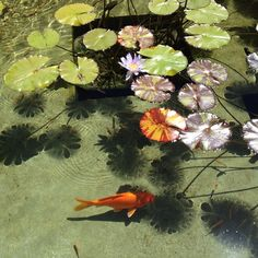 "koifish waterlilly pond at getty villa"" ()"
