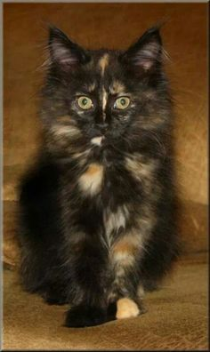 Lovely Long-Haired Dark-Colored Calico.