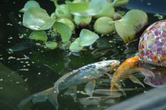 Koi - the staple fish for any pond #pond #koi #fish #Tetrapond