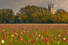 """""""Be amazed at the wonder of North Meadow in Cricklade, where the fritillaries are in full bloom. It's truly a magnificent sight; one that you'll never forget."""" Slow Travel The Cotswolds; www.bradtguides.com"""