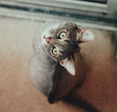 Gato doméstico (Felis silvestris catus)