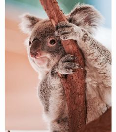 """Koala at Riverbanks Zoo"" by Chris Laforêt Cute Creatures, Beautiful Creatures, Animals Beautiful, Nature Animals, Animals And Pets, Baby Animals, Cute Wild Animals, Cute Funny Animals, Riverbank Zoo"