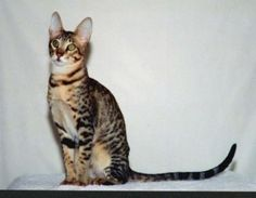 Serengeti cat.  cross between the Bengal cat and an Oriental cat.  Beautiful cats with a lovely temperaments.