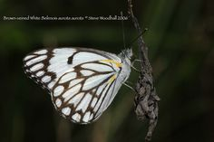 Brown Veined White - Belenois aurota male