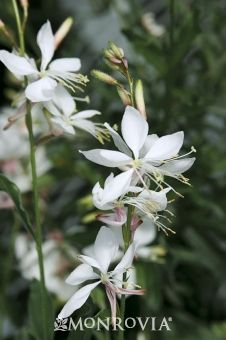 Geyser White Gaura - Gaura lindheimeri 'Geyser White'. A full-bodied plant with a compact habit that is free flowering until the first frost. Strong branching supports large, long-lasting silvery-white blooms. Exceptional in containers and as cut flower. Tolerates drought, heat and humidity. Partial to full sun. Moderate grower to 20 to 36 in. tall and wide.