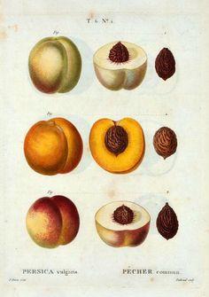 Pierre Joseph     Redouté  Persica Vulgaris  1801-19