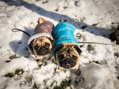 It's official! This is our last winter photo for this season 🌨❄☃😂  #mauricethepug #bubblethepug #bubble #queenb #winter #winterisover #snow #cold #cute #puglife #pugchat #pugstory #tirgumures #romania #pug #mops #dog #puppy