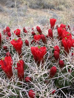 Claret Cup Cactus, Chaco Canyon, NM.  A jolt of color against a muted landscape. frontiertraveler.com