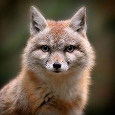 Najlepsze Obrazy Na Tablicy Foxy 1126 W 2019 Lisy