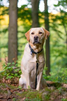Dogs — maisietheyellowlab:   kinda awkward, kinda pretty,...