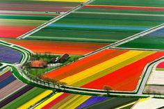 cultivo de tulipanes
