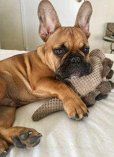 French Bulldog Puppy and his stegosaurus.