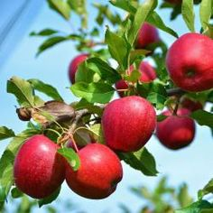 Knallrote Äpfel am Baum hängend