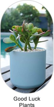 Buy lucky plants : Largest online nursery for lucky plants including jade bonsai formal upright style - p. Feng Shui Lucky Bamboo, Lucky Bamboo Plants, Bamboo Stalks, Bamboo Leaves, Meaning Of Lucky, Lucky Plant, Buy Plants Online, Replant, Plant Nursery