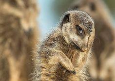 Meerkat facepalm   PostKitty